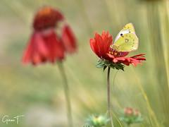 Souci sur gaillarde (GinOu Tchob.) Tags: papillon macro nikonpassion nature nikon fleur jardin 90mm