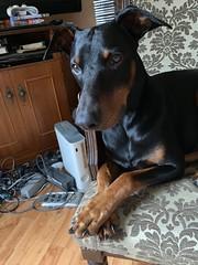 Can I Use The PlayStation - Doberman Pinscher Saxon (firehouse.ie) Tags: pinschers pinscher dobermanns dobermann dobermans doberman dobies dobie dobeys dobey dobes dobe dogs dog