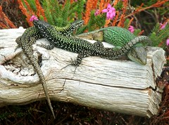 Spot the Difference (Kevin Pendragon) Tags: reptile reptiles reptilian aliens scales skin colours tail claws green dark lighy spots log wood plants heather pink outdoors outside nature naturephotography sun sunshine heat hot weather small quick westcountry triple threesome