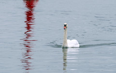 red reflection (explored) (Simple_Sight) Tags: bird swan water harbour red reflection outdoors ostsee balticsea ngc npc