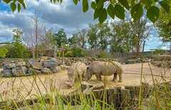 #Framed - 7468 (✵ΨᗩSᗰIᘉᗴ HᗴᘉS✵85 000 000 THXS) Tags: frame framed rhinoceros animal nature iphone11promax iphone landscape pairidaiza belgium europa aaa namuroise look photo friends be yasminehens interest eu fr party greatphotographers lanamuroise flickering