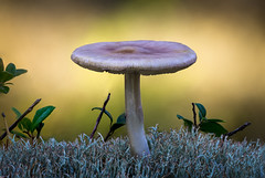 Solitaire in the forest (Olof Virdhall) Tags: mushroom forrest moss closeup solitaire canon eos5 mkiii olofvirdhall