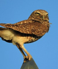 Burrowing Owl on a Road Sign (Ruby 2417) Tags: owl bird wildlife nature road sign davis rare rarity threatened perch