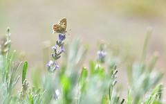 Azuré sur lavande (GinOu Tchob.) Tags: papillon macro nikonpassion nature nikon fleur jardin 90mm