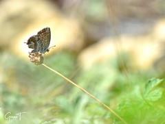 Brun des pélargoniums (Cacyreus marshalli). (GinOu Tchob.) Tags: papillon macro nikonpassion nature nikon fleur jardin 90mm