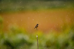 Take me dancing naked in the rain (Paul wrights reserved) Tags: bird birds birdphotography birdwatching rain raining bokeh bokehphotography