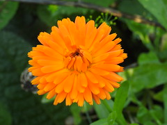 Happy Weekend & thanks to everyone who faves, comments & follows me (blue33hibiscus) Tags: flower plant calendula garden somerset