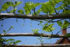 leaves of an ornamental gourd... (quietpurplehaze07) Tags: smileonsaturday framed leaves sky blue green mottisfont nationaltrust gourd