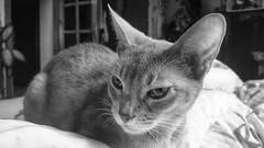 V i s i t     from Egypt 🐈 (Ladyhelen_) Tags: akechi cat verses poem poetry music egypt blackwhite vulpeszerda animal portrait face words thyroidrhyme rhyme verse