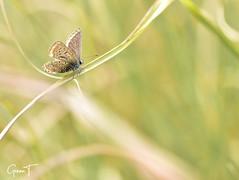 Azuré sur graminée (GinOu Tchob.) Tags: papillon macro nikonpassion nature nikon fleur jardin 90mm