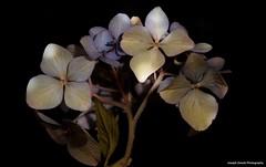 Hydrangea (josephzmuda2) Tags: hortensia closeup green blue blackbackground fineart stilllife color northamerica pennsylvania pittsburgh nopeople floral flora hydrangea macro botanical plant flower