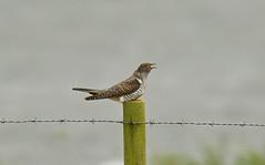 Juvenile Cuckoo - Cuculidae (debsiep1) Tags: juvenile cuckoo cuculidae mimic bird essex