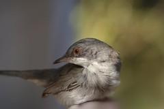 Curruca cabecinegra hembra, joven del año. (Elena m.d.) Tags: nature 2019 nikon sigma sigma105 aves