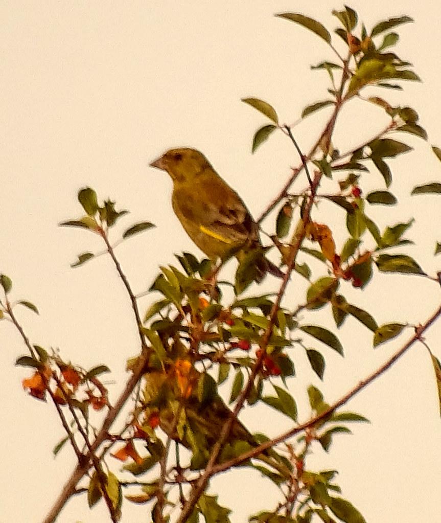 Águas Frias (Chaves) - ... duas aves: uma desinibida e deixando-se fotografar, a outra, envergonhada, escondendo-se por entre as folhas ...