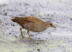 Spotted Crake (wryneck94) Tags: birdwatching somerset somersetlevels