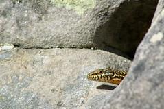 Lézard des murailles (Phil du Valois) Tags: lézarddesmurailles lézard murailles reptile faune sauvage libre wild wildlife free pierreglissoire podarcis muralis