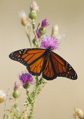 martin edwards 3 (S. J. Coates Images) Tags: amherst island fall landscape frontenac county insect butterfly