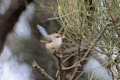 splendid wren20190924-_DSC6025-Edit (sinclairdaryl) Tags: wrens chats small birds native australian