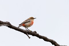crimson chat20190924-_DSC6007-Edit (sinclairdaryl) Tags: wrens chats small birds native australian