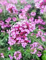 Profondo rosa  -  Deep pink (Cristina 63) Tags: europa europe italia italy piemonte piedmont torino turin parcodellatesoriera natura nature fiore flower fiori flowers rosa pink verde green verbena macro