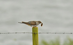 Juvenile Cuckoo - Cuculidae (debsiep1) Tags: juvenile cuckoo cuculidae bird mimic essex