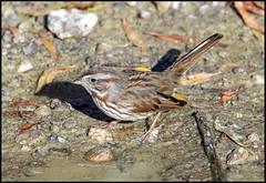 Song Sparrow (Ed Sivon) Tags: america canon nature lasvegas wildlife western wild water southwest desert clarkcounty vegas flickr bird henderson nevada preserve