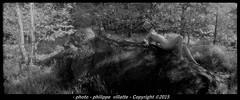 nue  nude forêt de Fontainebleau infrared argentic (villatte.philippe) Tags: nu nude nue foret pano panoramique panoramic horizon russe argentique argentic nb kodak