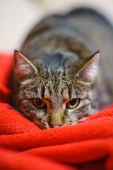 (Brînzei) Tags: apahida canonfl canonfl58mmf12 cluj kitty sonya7 animals bokeh cats coquettish ears eyes manualfocus red staring românia