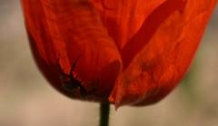 Ombre écarlate ! Pas de doute c'est une araignée ! (jmollien) Tags: poppy poppies araignée rouge red ombre coquelicot contraste fleursdeschamps nature flore flowers