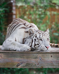 Cesar the White Tiger (catastriphie) Tags: white tiger zoo living treasures moraine pa panthera big cat