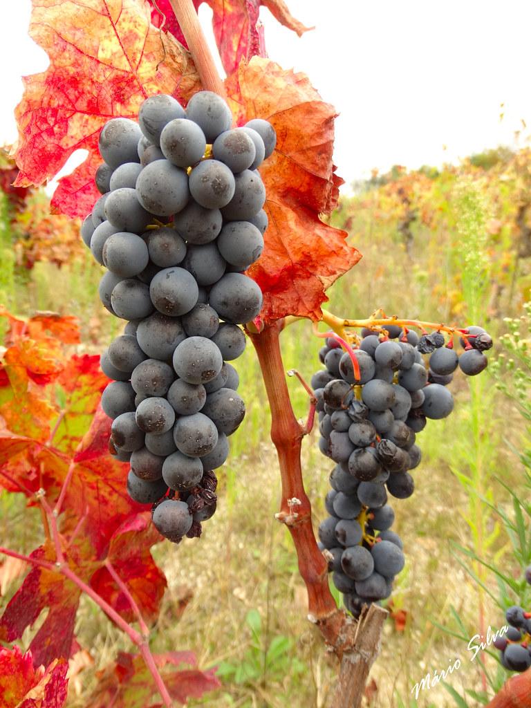 Águas Frias (Chaves) - ... cachos de uvas, que darão um delicioso vinho ...