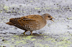 Spotted Crake (wryneck94) Tags: birdwatching somersetlevels somerset
