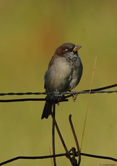 house sparrow (S. J. Coates Images) Tags: amherst island fall landscape frontenac county bird