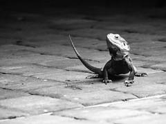 Bearded Dragon (Vanrensalier) Tags: lizard beardeddragon bw manualfocus vivitar28200f35 vintagelens
