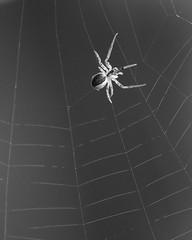 Web Weaving (Treflyn) Tags: spider back garden weave web earley reading berkshire uk black white monochrome wild wildlife