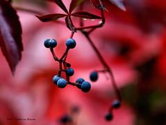 Autumn (Patricia Buddelflink) Tags: herbst autumn wild wine wilder wein garden nature