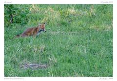 Le renard | fox (BerColly) Tags: france auvergne puydedome animal mammifere mammal renard fox portrait automne autumn bercolly google flickr