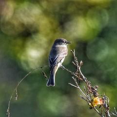 Eastern Phoebe (JRWhitaker1) Tags: sayornisphoebe cromwellvalleypark baltimorecounty maryland wildlifephotography nature bird easternphoebe flycatcher