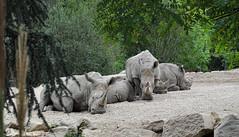 Rhinocéros (balese13) Tags: 100nikon 1855mm beauval d5000 loiretcher saintaignan yourbestoftoday animal balese green nikon pierre rhinocéros roche rocher vert zoo 250v10f 500v20f 1000v40f 1500v60f