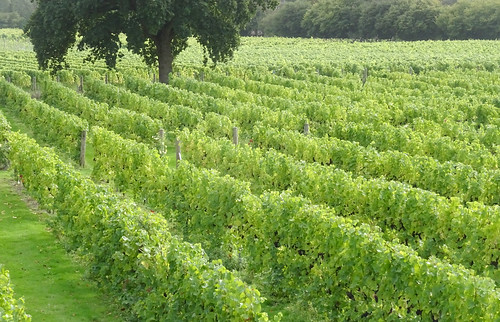 Nutbourne Vineyard
