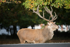 MRP_6758 (preedyphotos) Tags: bushypark london londonpark reddeer car pushbike humans fallowdeer dog water egyptiangoose bird wildlife humanfriendly fish carp antlers rut martinpreedy canon eos1dx