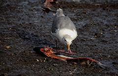 Alaska Lunch (Linnea from Sweden) Tags: nikon d7000 ed afs nikkor 70300mm 14556g vr if swm alaska lunch sea seagull beach bird nature fish salmon eat food animal