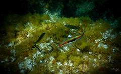 Plongee Porto Pollo DSCN1351 (michele.muno) Tags: sea mer underwater corse corsica plongée portopollo fish poisson plongã©e