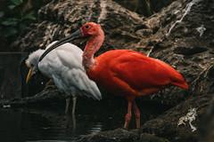 The Red Bird (JP-Otto) Tags: jan peter otto jp jpotto fotografie photography red bird white rode witte de vogel valencia spanje spain oceanium loceoografic oceanografic turia nikon digital d7500 zoo closeup nature deep colour nat geo geografic