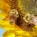 Bumblees on Sunflower
