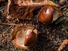 chestnuts (MR_Bundy) Tags: xiaomi mi8 chestnuts autumn