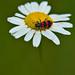 Bee Beetle