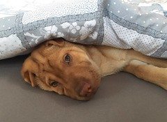 I don't want to go out (majka44) Tags: dog animal cute puppy adorable 2019 lovely pet portrait mylove relax mydog mydarling
