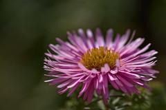 Aster (pstenzel71) Tags: blumen natur pflanzen aster darktable flower bokeh