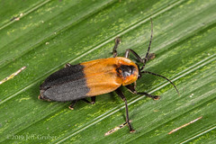 Firefly (jgruber111) Tags: lampyridae coleoptera beetle insect macro entomology firefly fincalaspiedras
